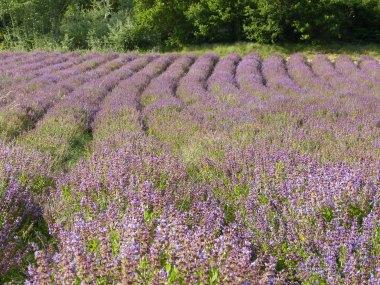 Salbei in der Provence