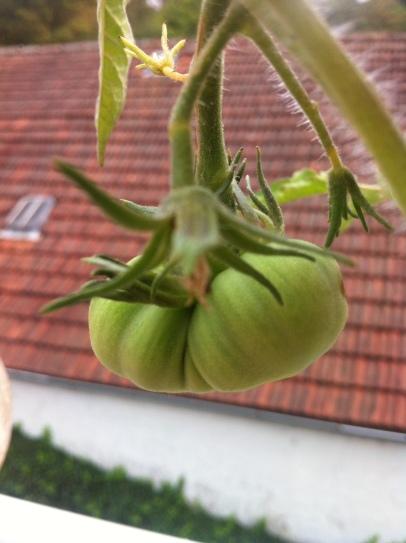Ob die Tomaten wohl noch werden?