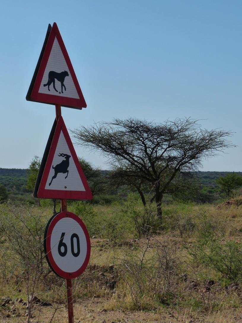 Gepard jagt Bock mit 60 km/h