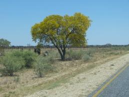 Blühender Baum bei Otavi