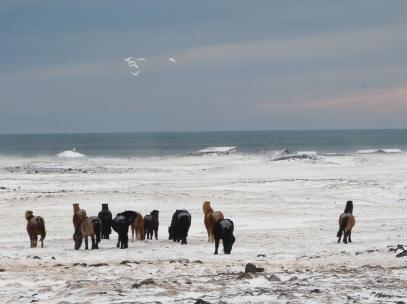 Tapfere Islandpferde