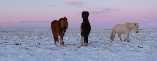 Islandpferde im Sonnenaufgang