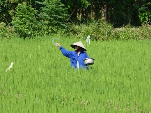Reisbauer bei Hoi An