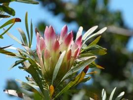 Kirstenbosch
