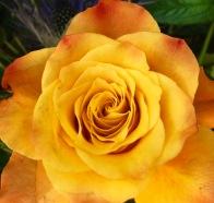 Im Herzen der Rose