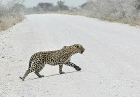 Leopard im Etosha