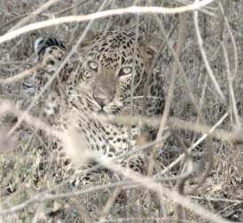 Leopard im Yala NP