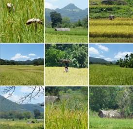 Reisfelder auf dem Weg nach Kandy