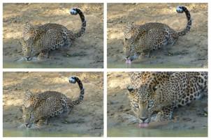 Durstiger Leopard
