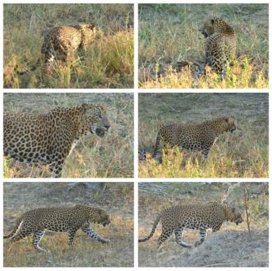 Leoparden im Yala NP