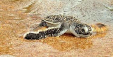 Schildkröten kämpfen sich ins Wasser