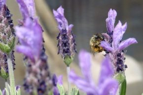 Lavendelhonigproduktion