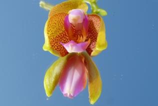 Gespiegelte Orchidee