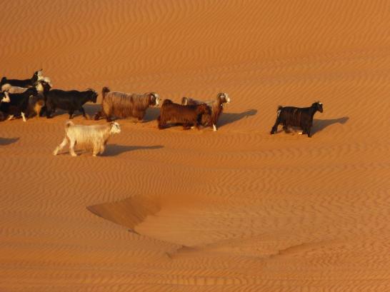 Desert Nights Camp - auch hier Ziegen