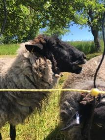 Schafe am Feldrand