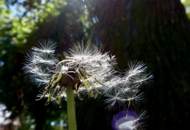 Versuch, die Pusteblume wegzupusten