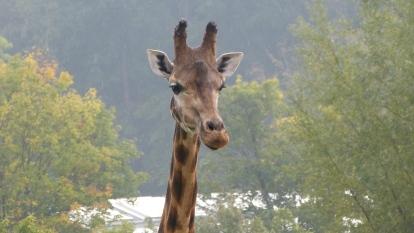 Giraffe im Regen