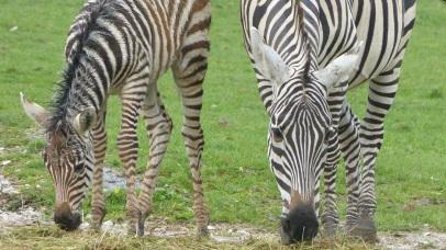 Patschnasse Zebras