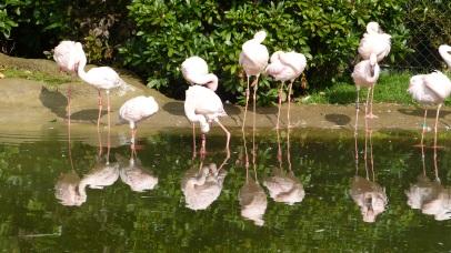 Flamingo Spiegelung