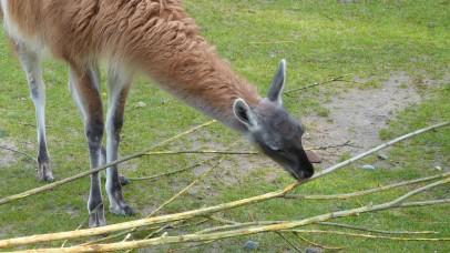 Nicht spuckendes Lama
