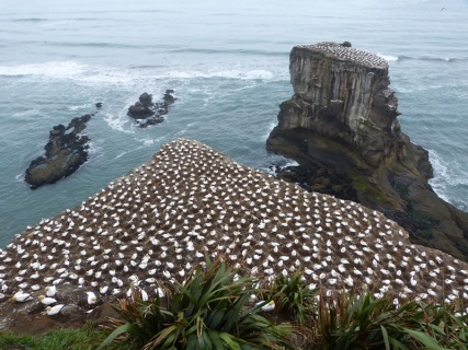 Tölpel Kolonie Muriwai