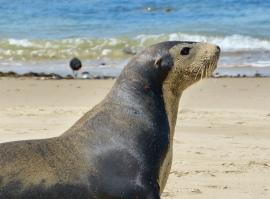 Seelöwen am Waipapa Beach