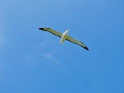 Ein stattlicher Royal Albatross