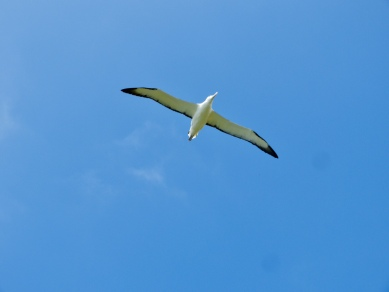 Ein stattlicher Royal Albatross