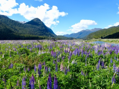 Lupinen am Milford Sound