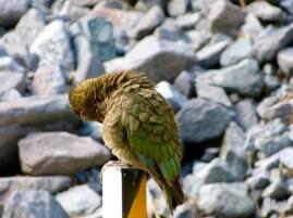 Keas am Milford Sound