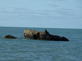 Seelöwe am Gillespies Beach