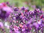 Blütenpracht auf der Lavendelfarm