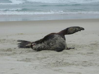 Seelöwe am Strand