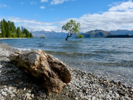 Lone Tree in Wanaka