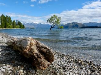 Lone Tree in Wanaka