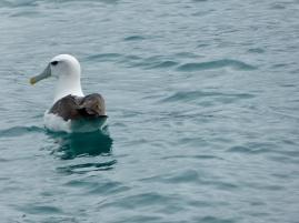 Taiaroa Head Weißkappenalbatross