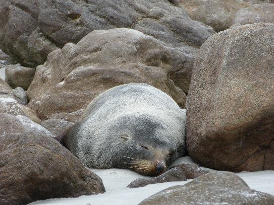 Seelöwen am Sandfly Beach