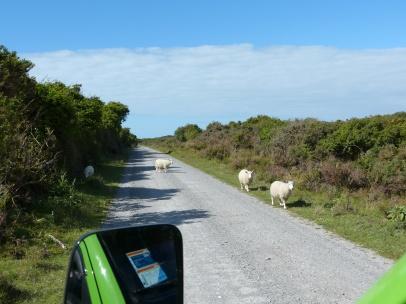 Schafe am Campingplatz