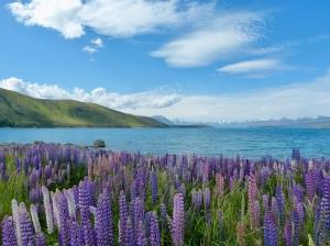 Lupinen am Lake Tekapo