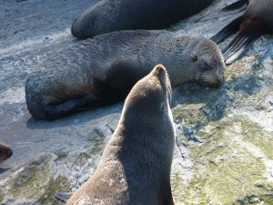 Seelöwen im Milford Sound