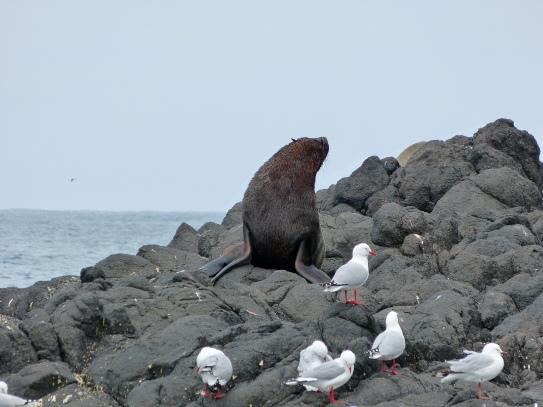 Seelöwe am Taiaroa Head