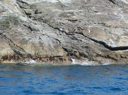 Seelöwen am Doubtful Sound