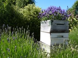 Eine Kiste voll Lavendel