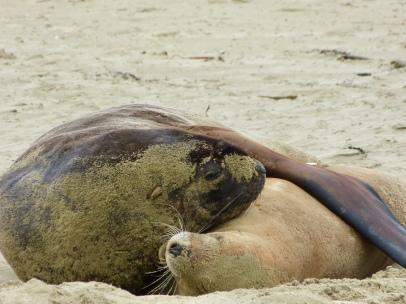Seelöwen am Surat Beach