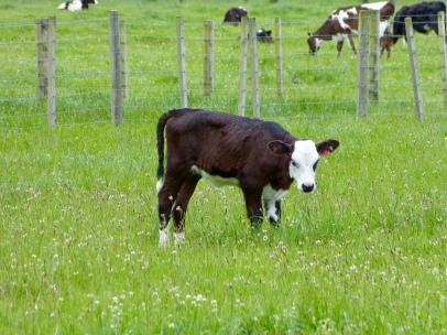 So ein süßes Rindvieh :-)