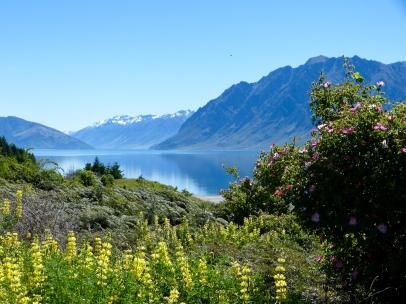 Lake Hawea mit gelben Lupinen im Vordergrund