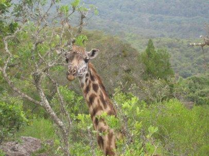 Giraffe im Arusha