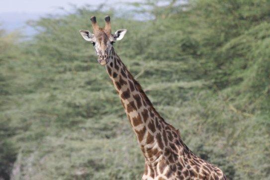 Giraffe am Lake Manyara