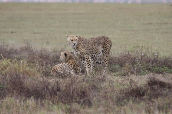 Geparden im Ngorongoro-Krater