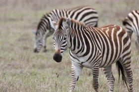 Zebras im Ngorongoro-Krater
